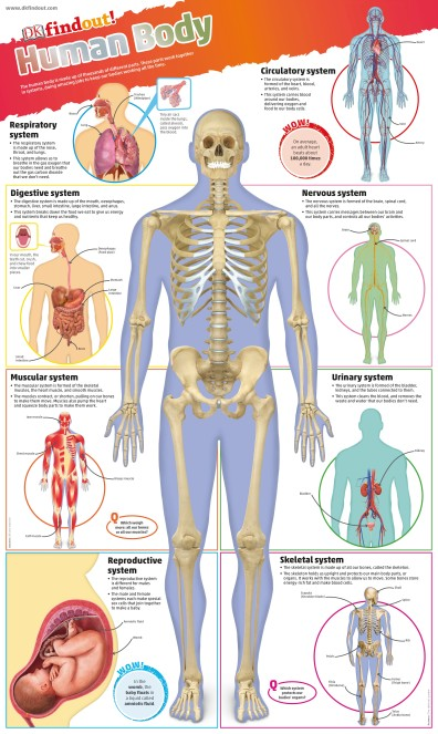 chart   DKfindout! Human Body Poster